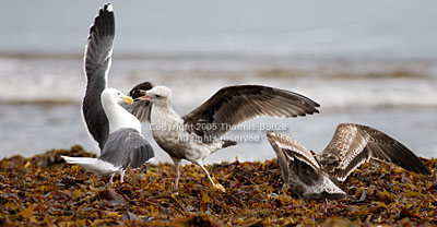 A young seagull is trying to get some food out of her mother. What looks like a fight is really just normal rituals.
