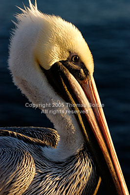 A Brown Pelican poses in the morning sun to have his portrait taken. Rather than being shy, these birds are inquisitive and hardly mind human presence.