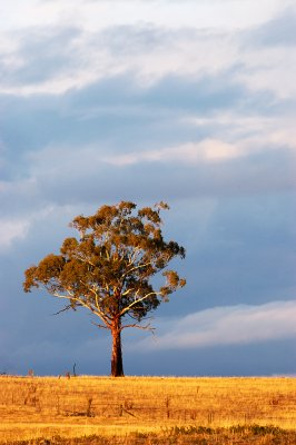 Australia's gum trees are dominating the landscape. They come in all kinds of shapes, sizes and varieties and have conquered almost all habitats. 