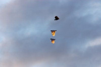 These birds seem to  be everywhere and anywhere in Australia. Here, three of them fly against the evening sky in the middle of nowhere (of which Australia has quite a lot ...).