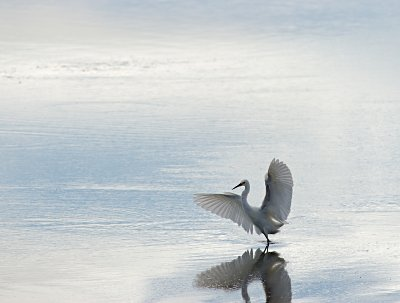 An Egret takes flight in the lagoon of Batemens Bay.